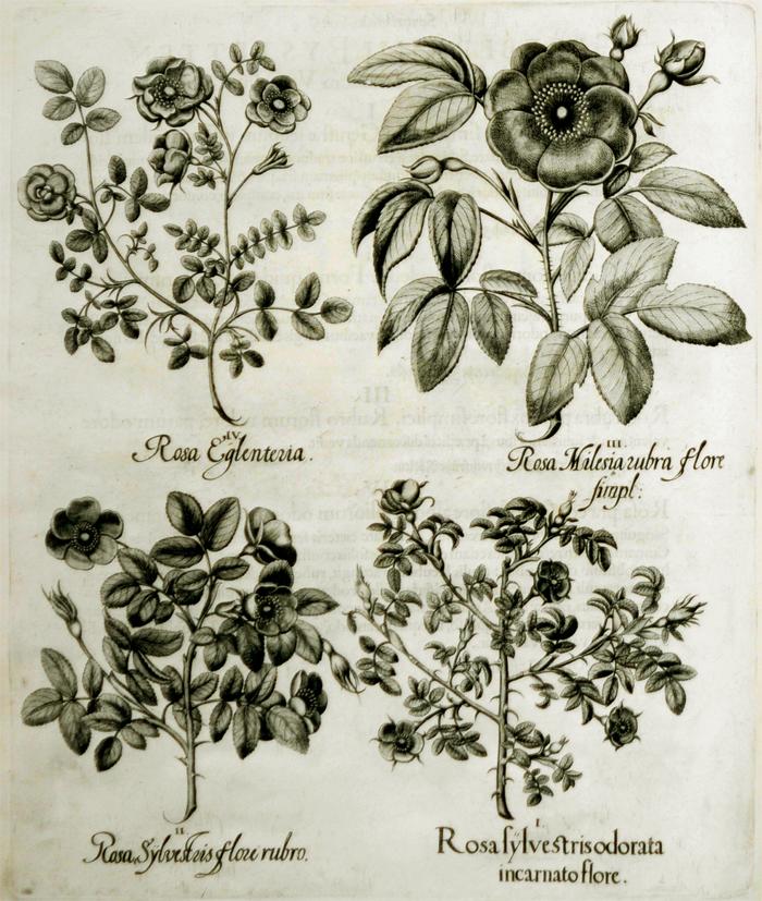 rosa-sylvestris-odorata-incarnatio-flore