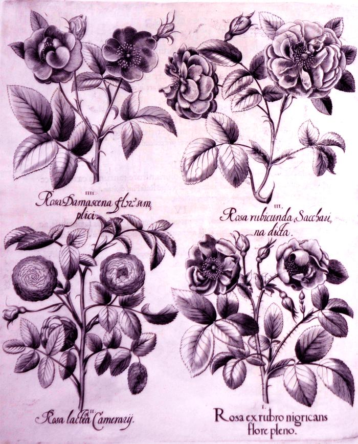 rosea-ex-rubro-nigricans-flore-pleno