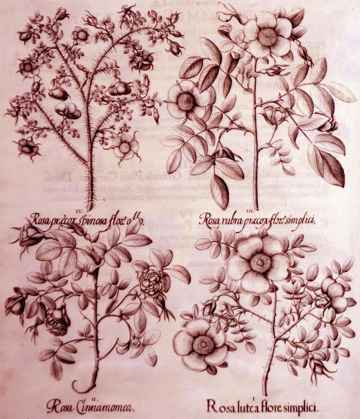 rosea-lutea-flore-simplici