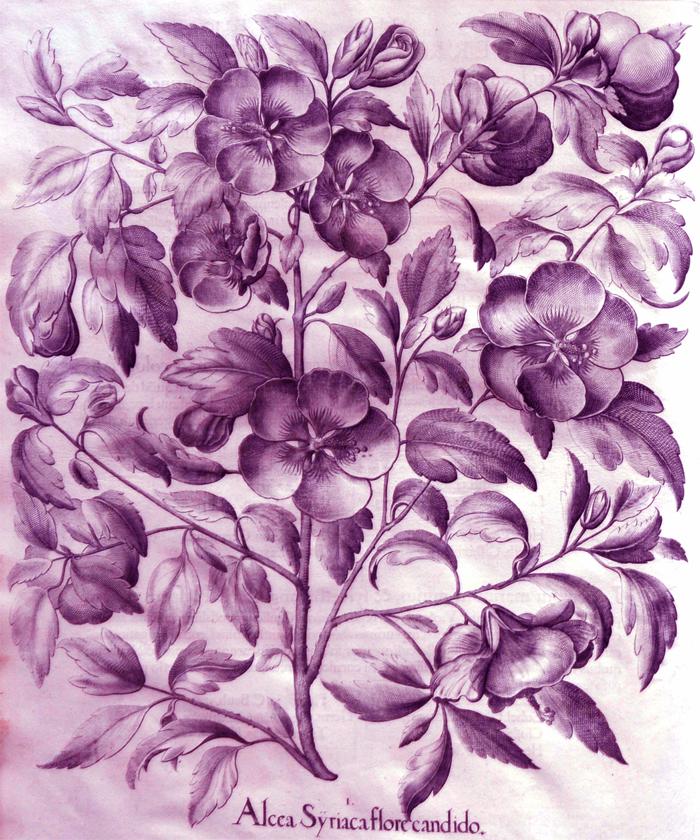 alcea-syriaca-flore-candido1