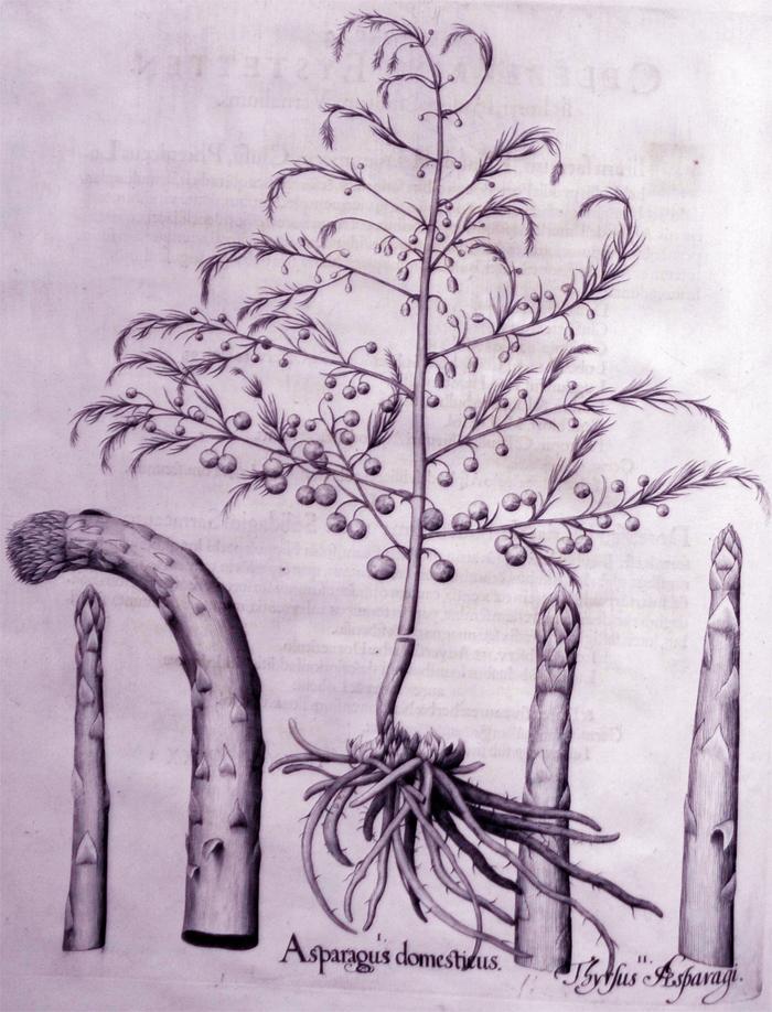 asparagus-domesticus