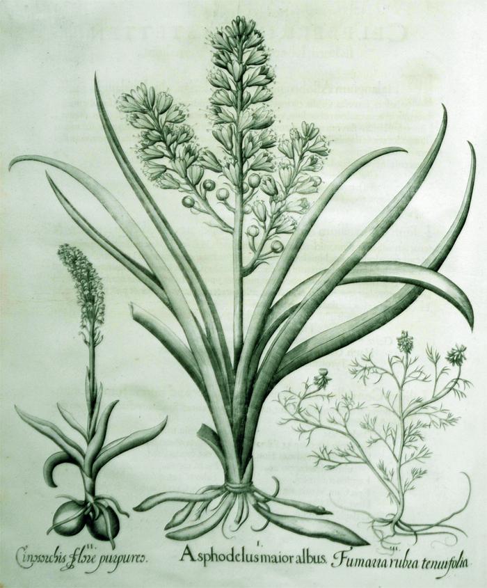 asphodelus-maior-albus