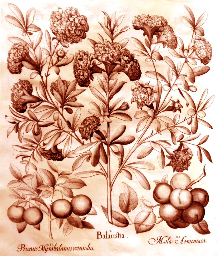 balaustia1