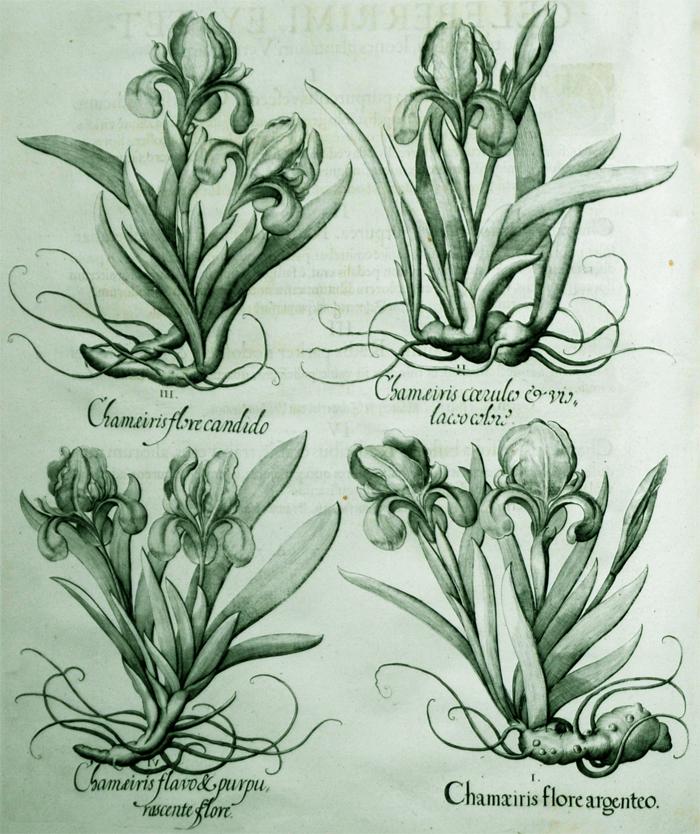 chamaeiris-flore-argenteo