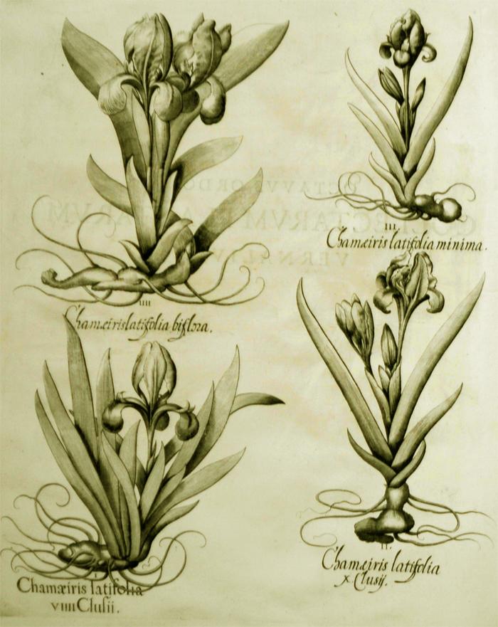 chamaeiris-latifolia-viiii-clusii
