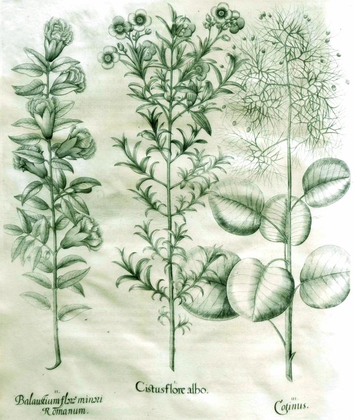 cistus-flore-albo