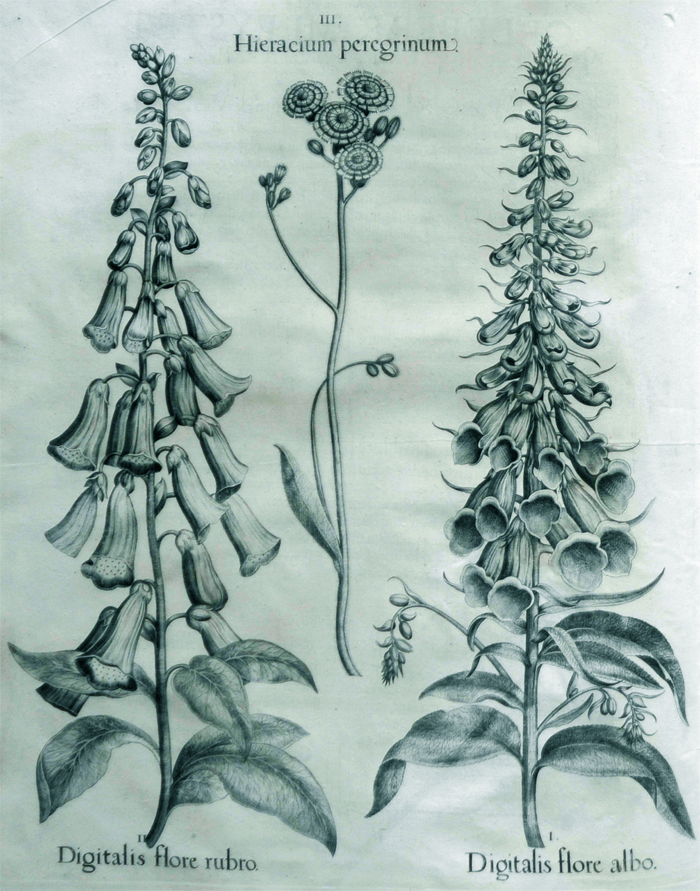 digitalis-flore-albo