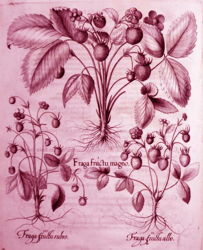 frage-fructu-magno