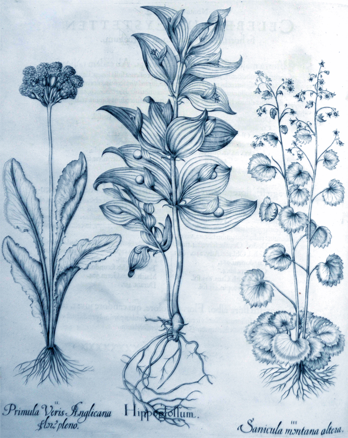 hippoglossum