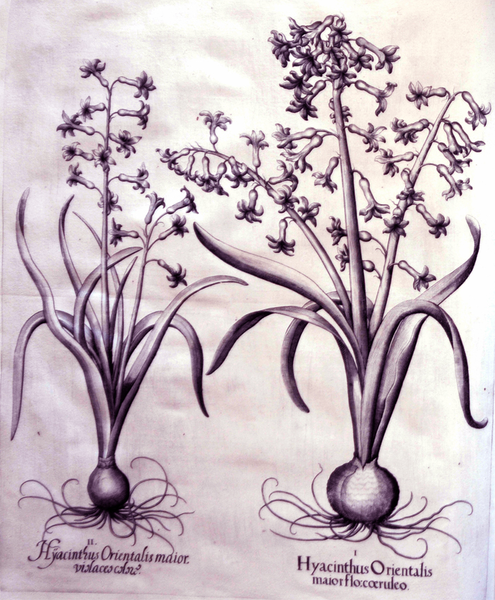 hyacinthus-orientalis-maior-flocoeruleo