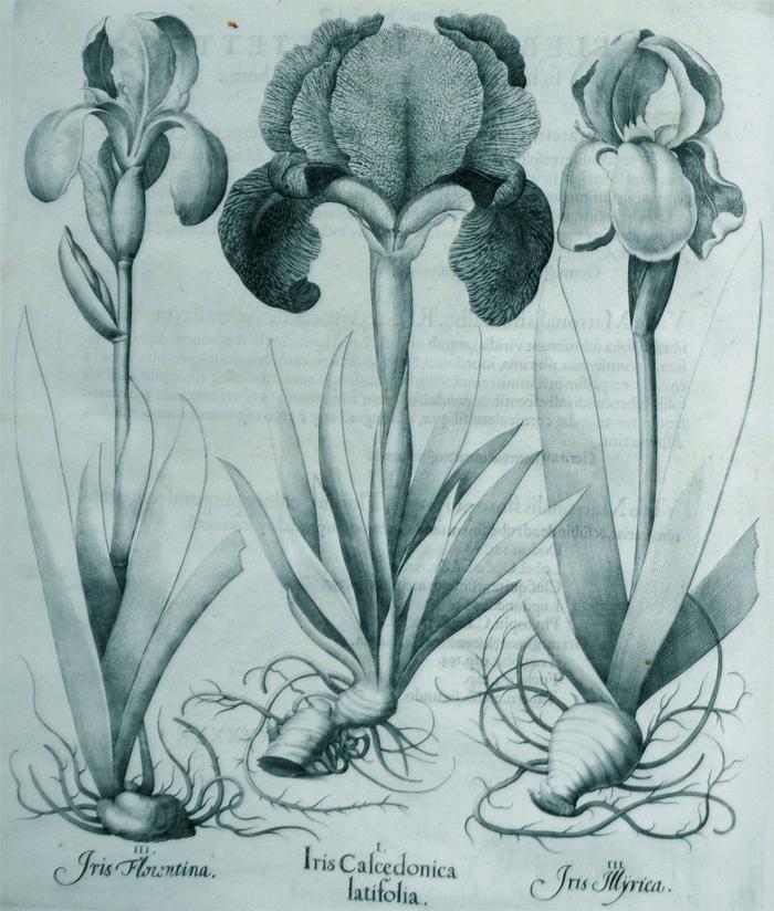 iris-clcedonica-latifolia
