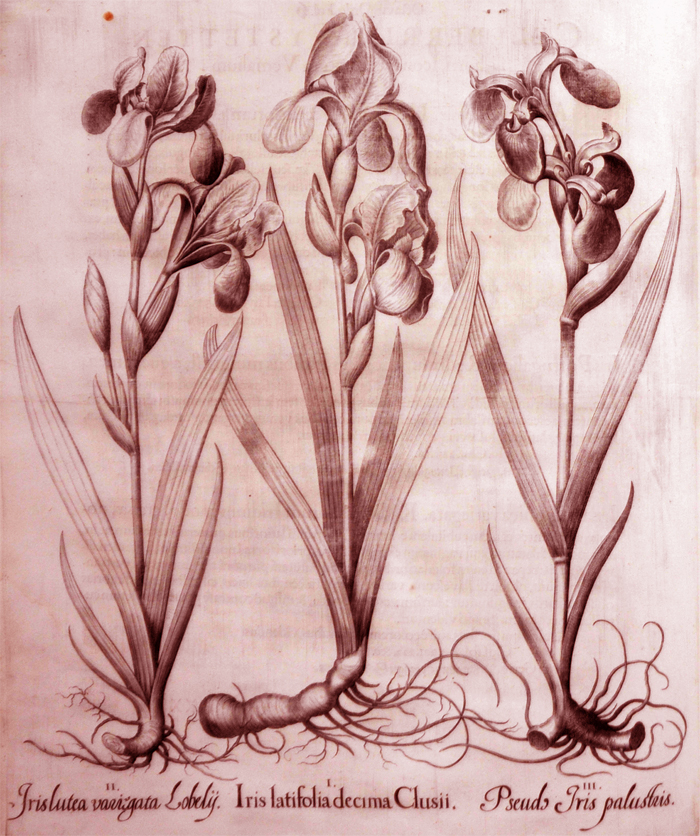 iris-latifolia-decima-clusii