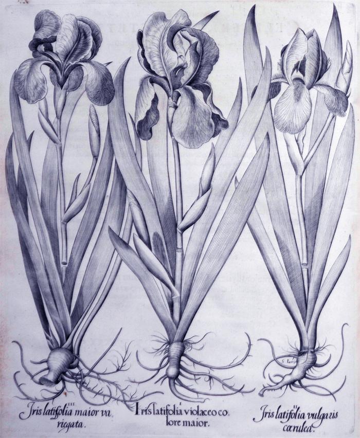 iris-latifolia-violaceo-colore-maior