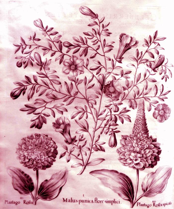 malus-punica-flore-simlici