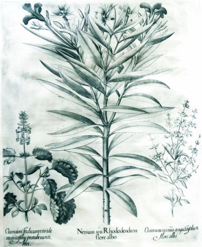 nerium-seu-rhododendron-flore-albo