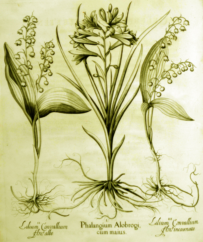 phalangium-alobrogi-cum-maius