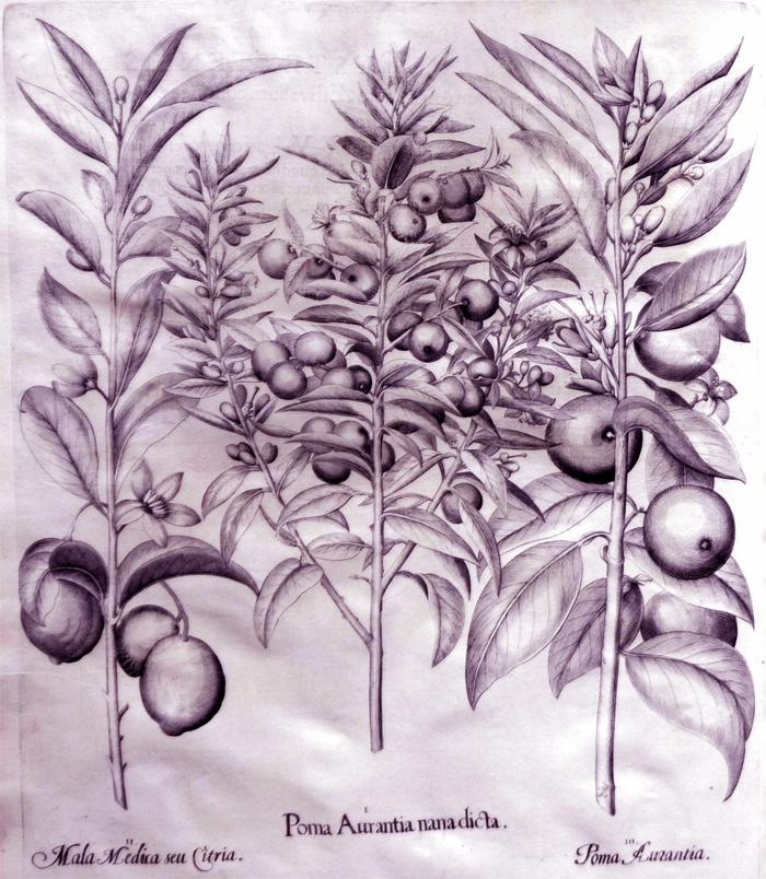 poma-aurantia-nan-dicta