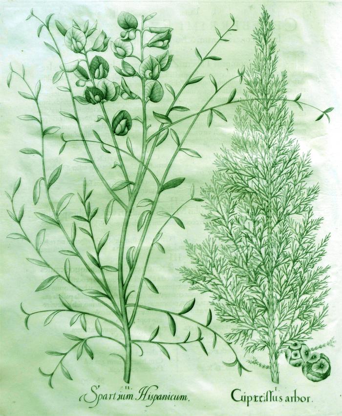spartium-hispanicum