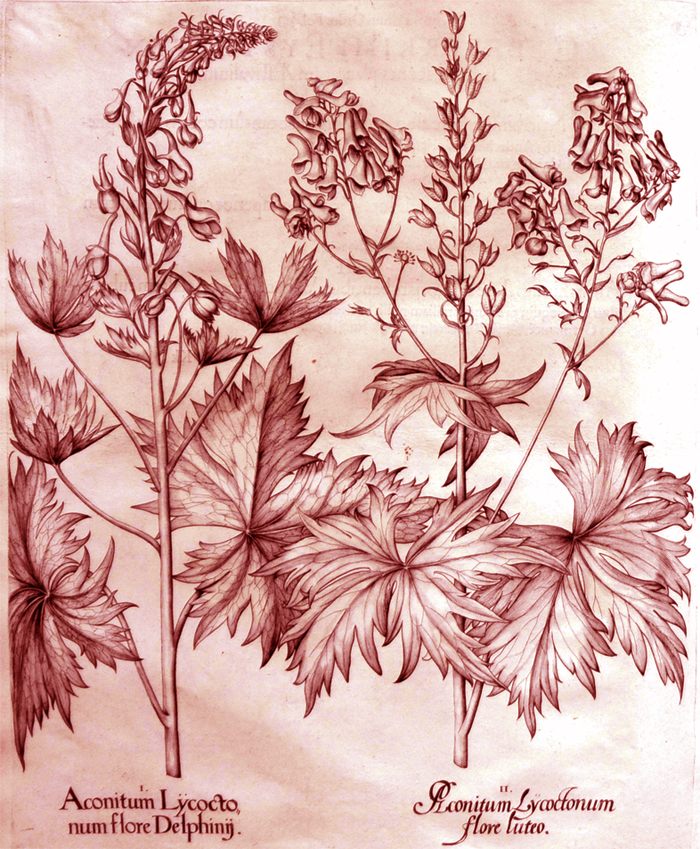aconitum-lycocto-num-flore-delphinij