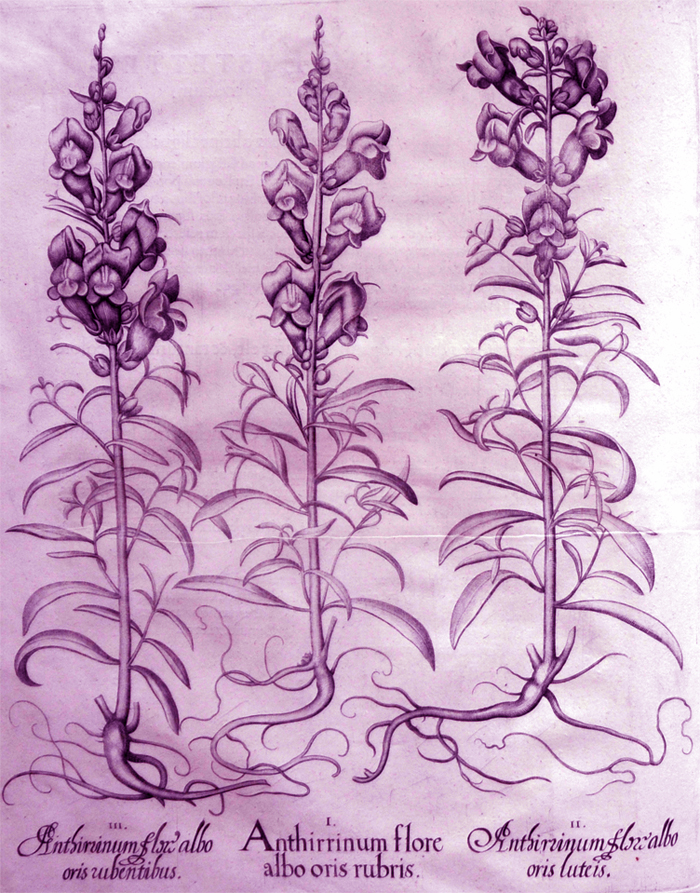 anthirrinum-flore-albo-oris-rubris
