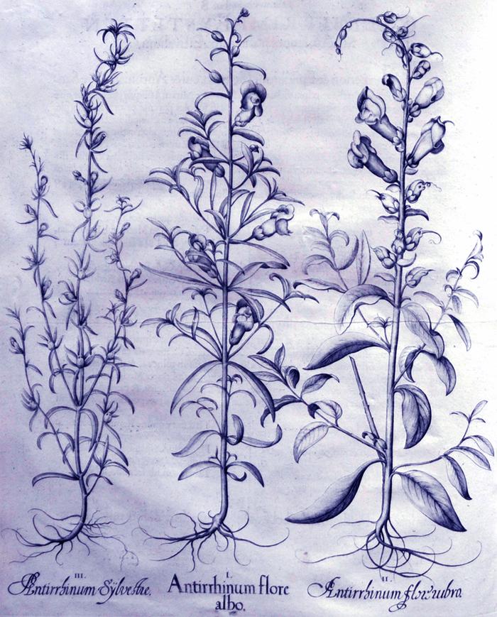 antirrhinum-flore-albo