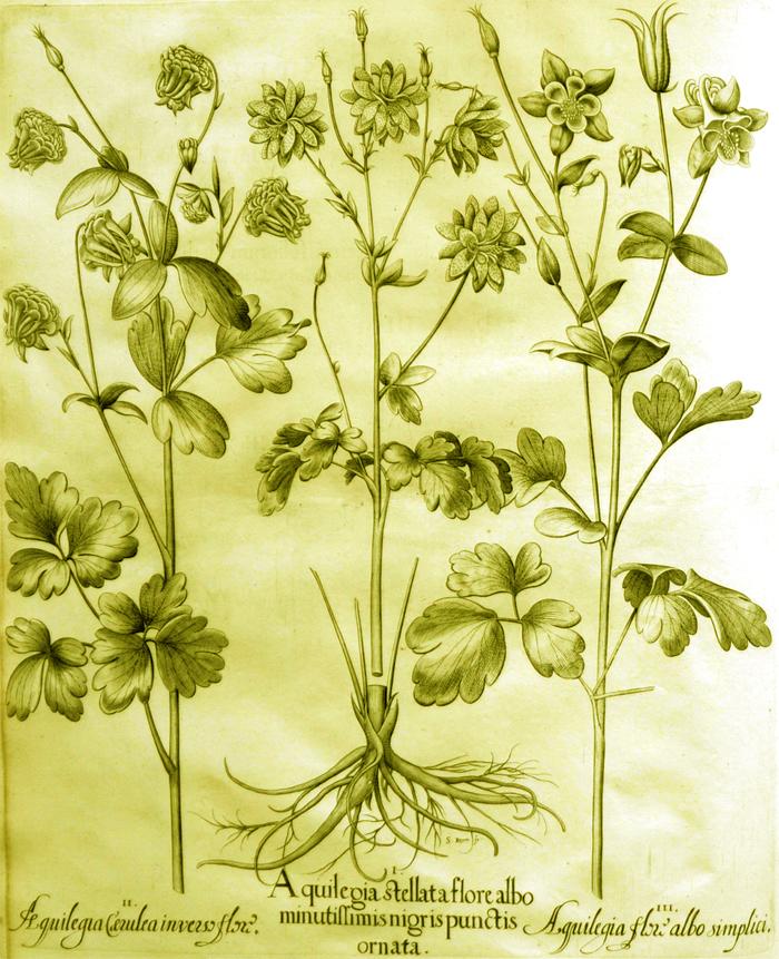 aquilegia-stellata-flore-albo-minutissimis-nigris-pnctis-ornata