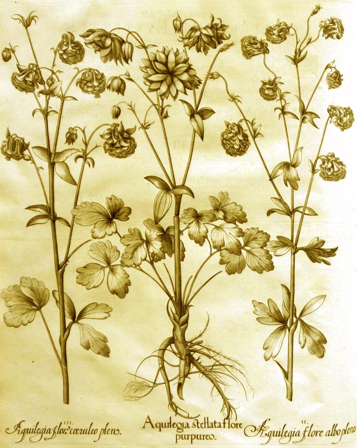 aquilegia-stellata-flore-purpureo