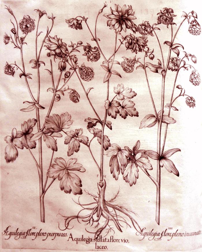 aquilegia-stellata-flore-violaceo