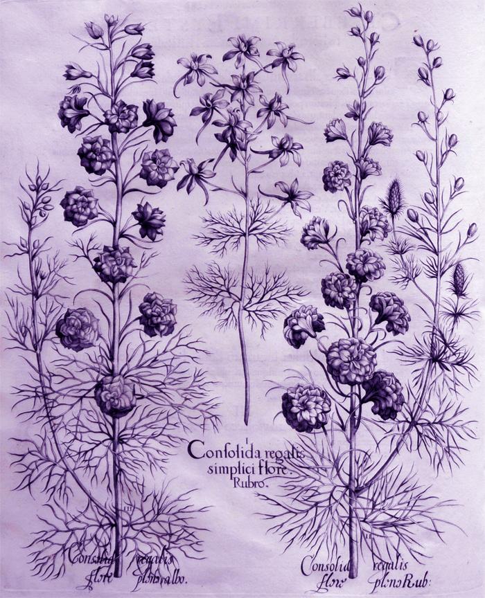 consolida-regalis-simplici-flore-rubro