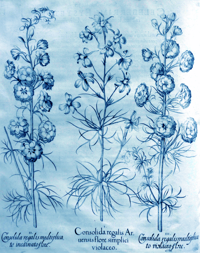 consolida-regatis-aruensis-flore-simplici-violaceo