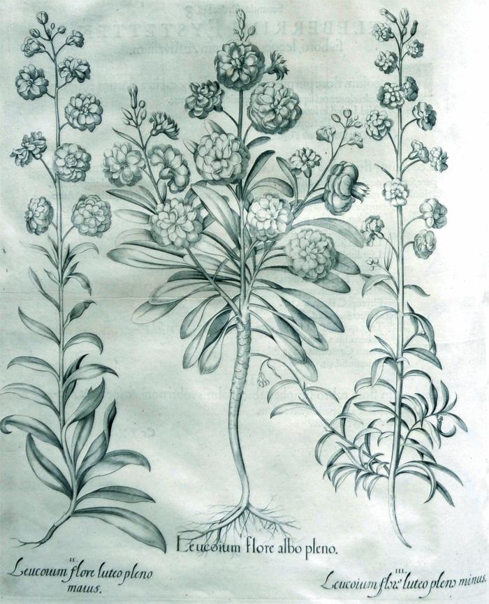 leucoium-flore-albo-pleno