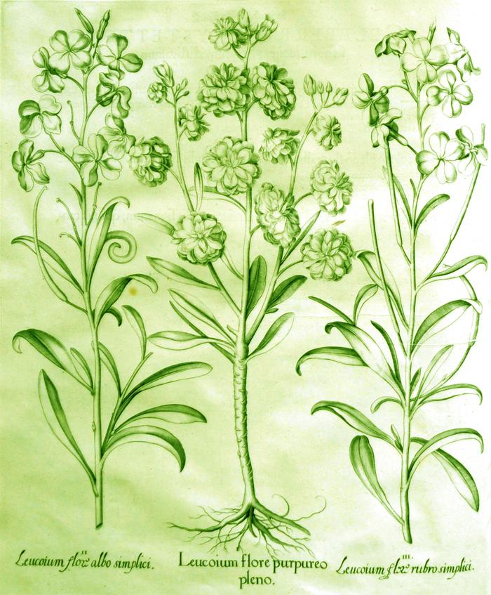 leucoium-flore-purpureo-pleno