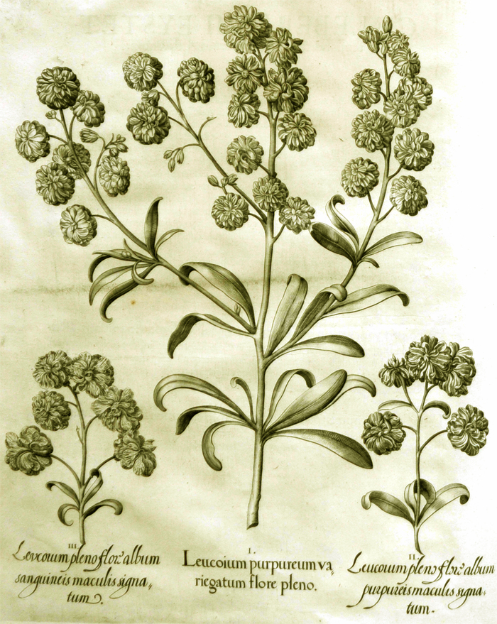 leucoium-purpureum-variegatum-flore-pleno