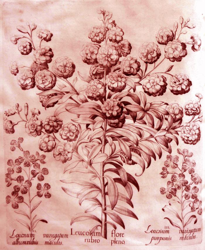 leucorum-flore-rubro-pleno