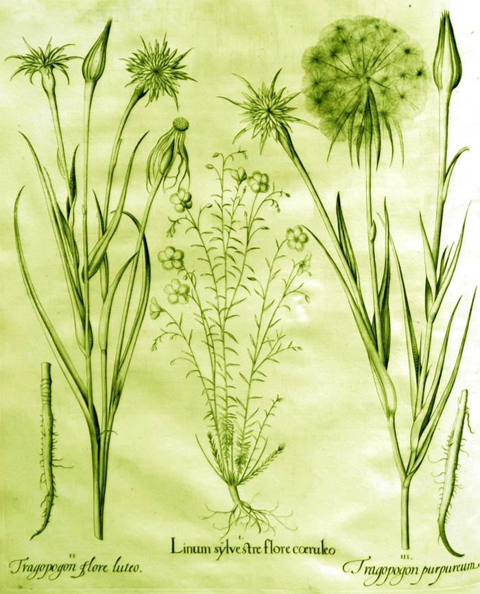 linum-sylvestre-flore-coeruleo