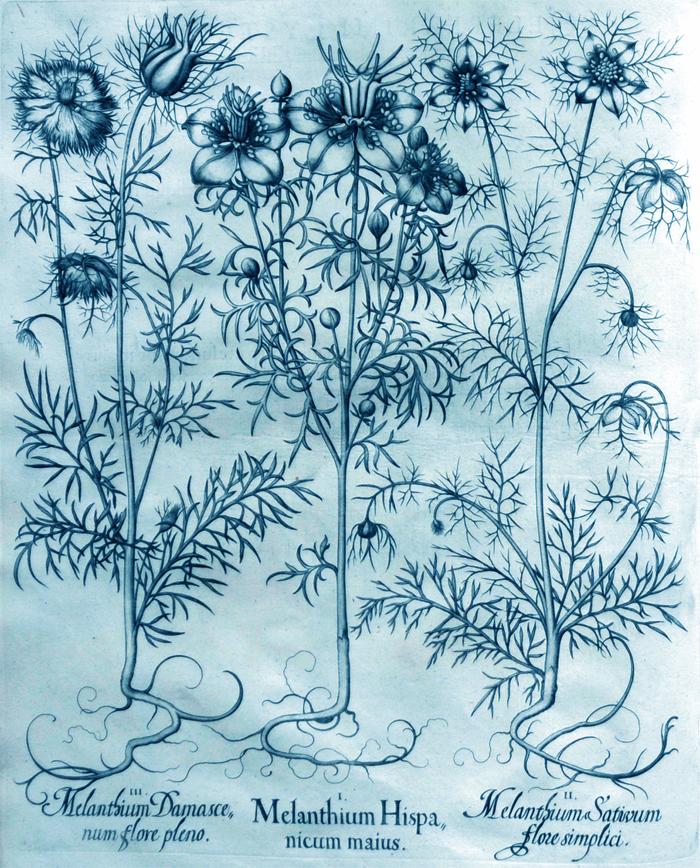 melanthium-hispanicum-maius