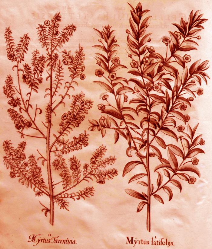 myrtus-latifoliis