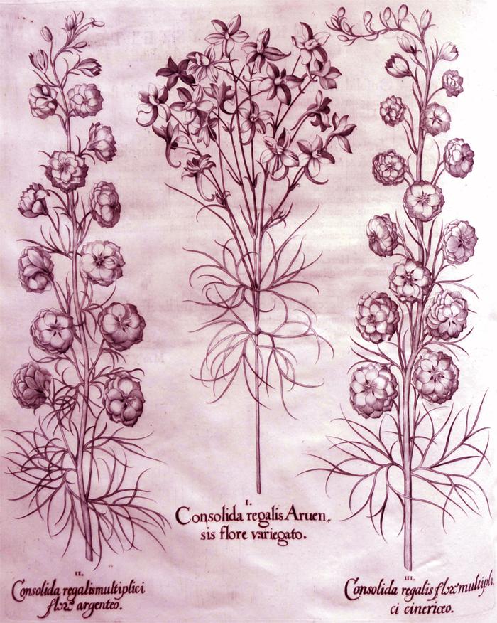 consolida-regalis-aruensis-flore-variegato