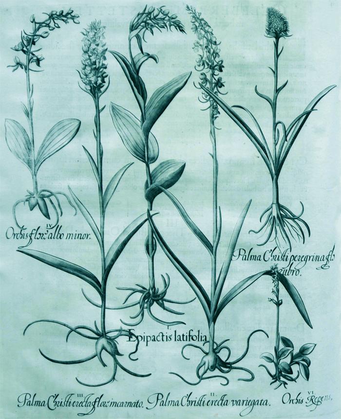 epipactis-latifolia