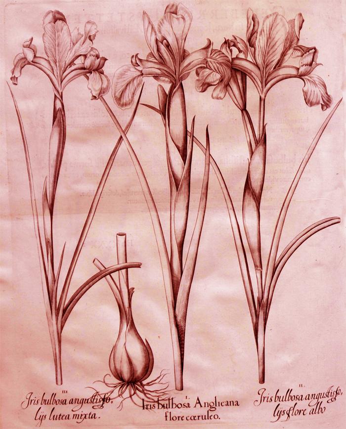 iris-bulbosa-anglicana-flore-coeruleo