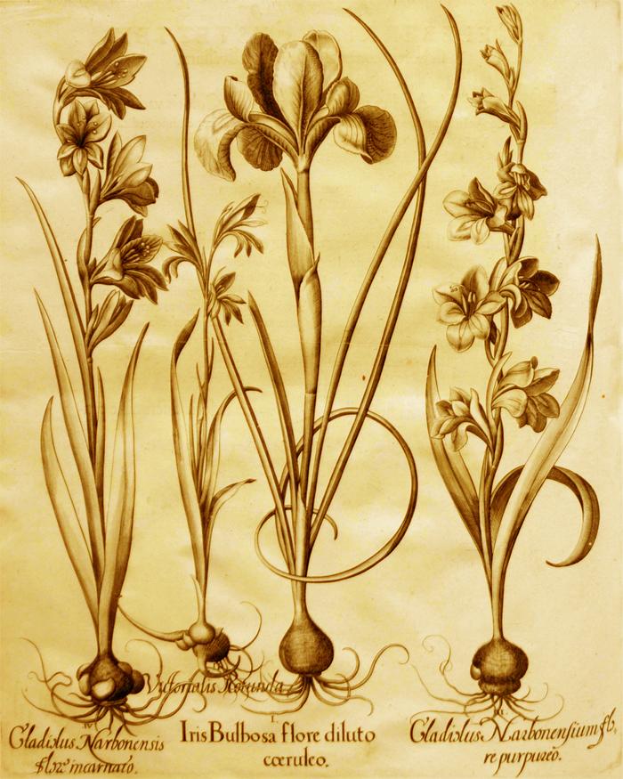 iris-bulbosa-flore-diluto-coeruleo