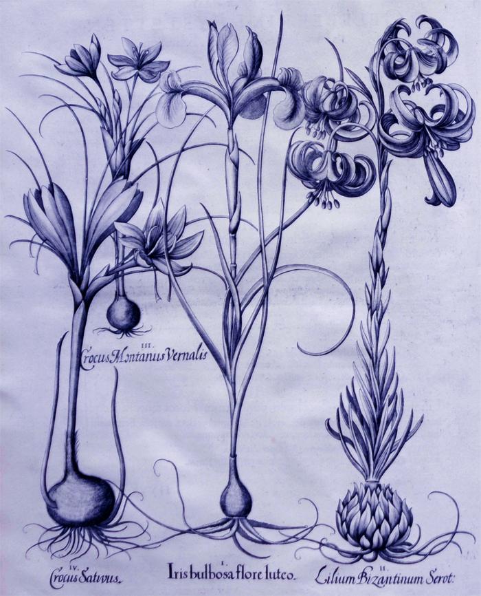 iris-bulbosa-flore-luteo
