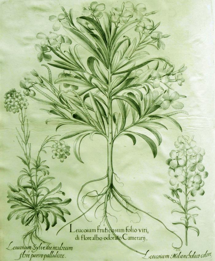 leucoium-fruticosum-folio-viridi-flore-albo-odorato-camerarij