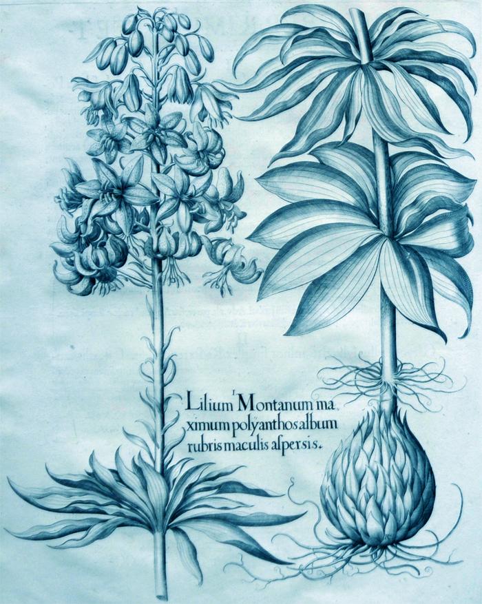 lilium-montanum-maximum-polyanthos-album-rubris-maculis-aspersis