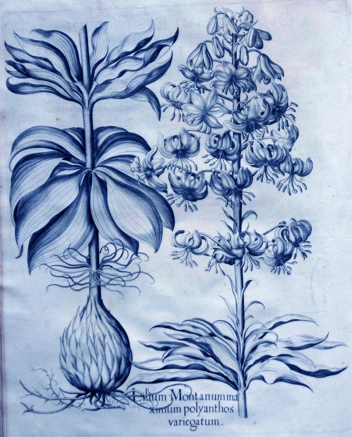 lilium-montanum-maximum-polyanthos-variegatum1