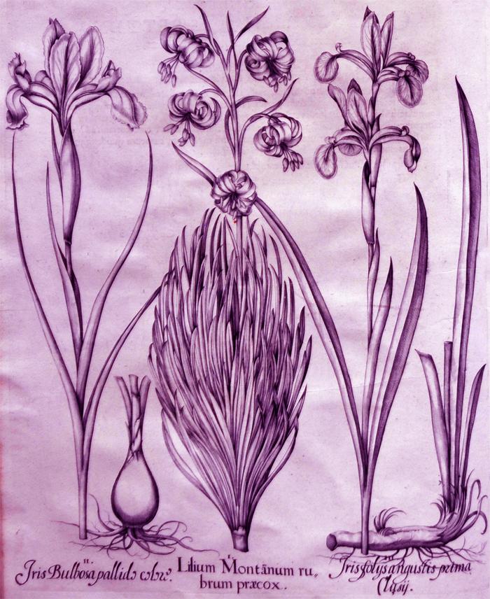 lilium-montanum-rubrum-praecox