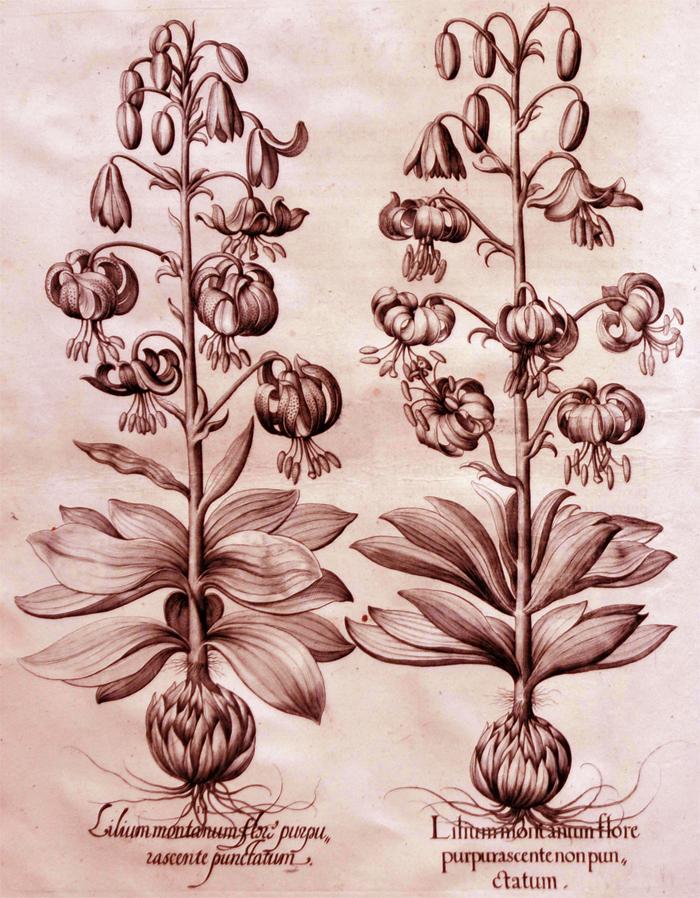 lilium-moritantum-flore-purpurascente-non-puntatum