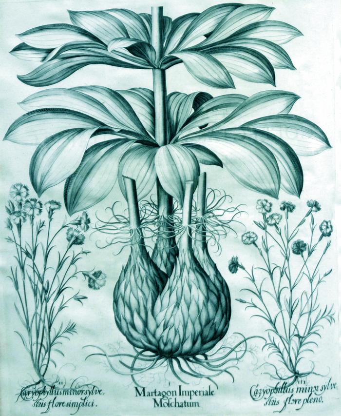 martagon-imperiale-moschatum