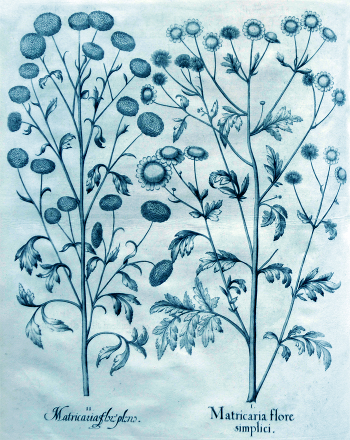 matricaria-flore-simplici