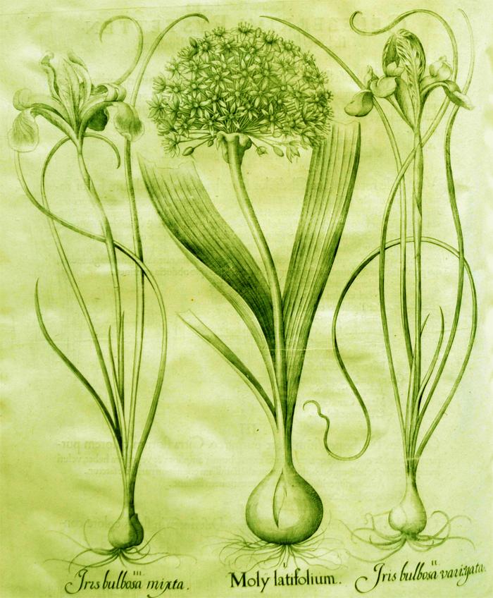 moly-latifolium